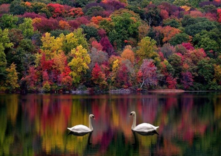 cisne-amor-belleza-sereno