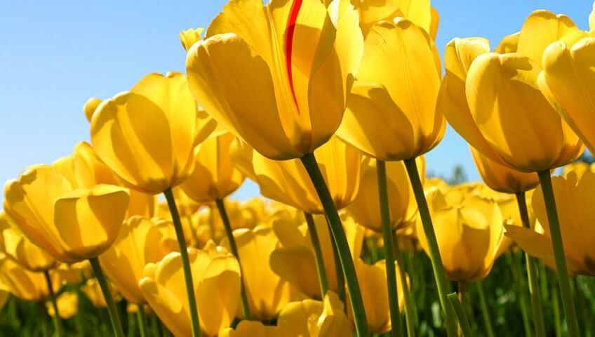 Tulipanes amarillos ocupan el 90% de la foto. Abajo verde y arriba azul muy colorido